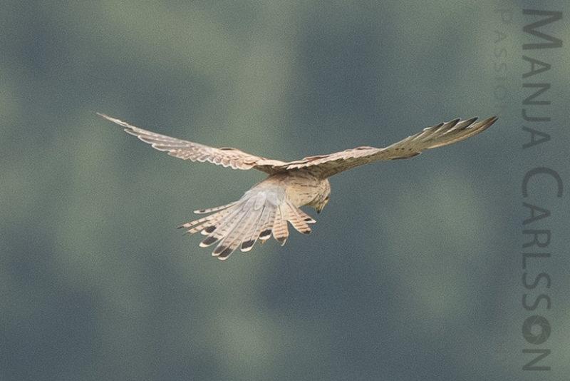 Falke auf Jagd - Flugpositionen