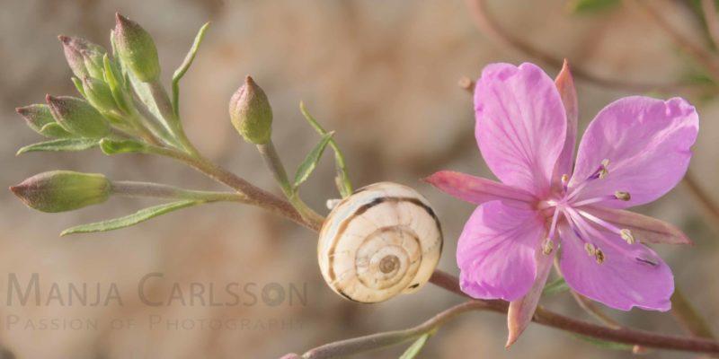 rosa Bergblume mit Schnecke