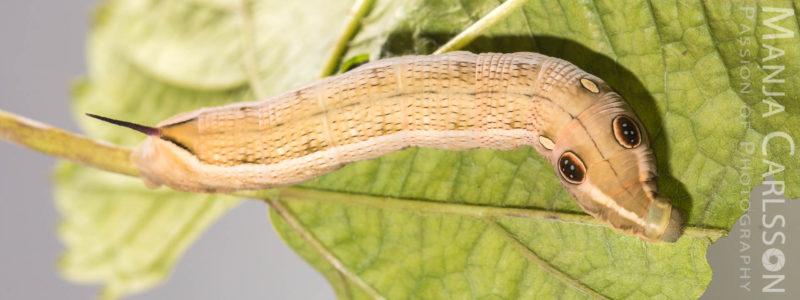 Großer Weinschwärmer (Hippotion celerio)