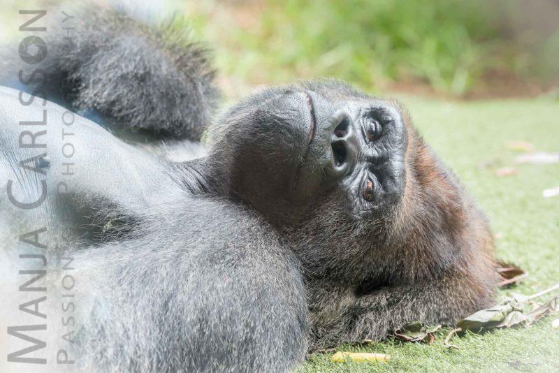 Im Augenkontakt mit dem Gorilla