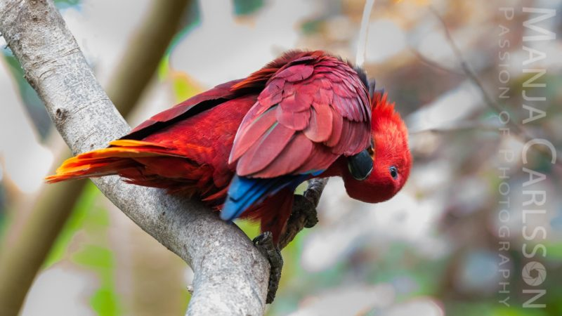roter Papagei (Neuguinea-Edelpapagei)