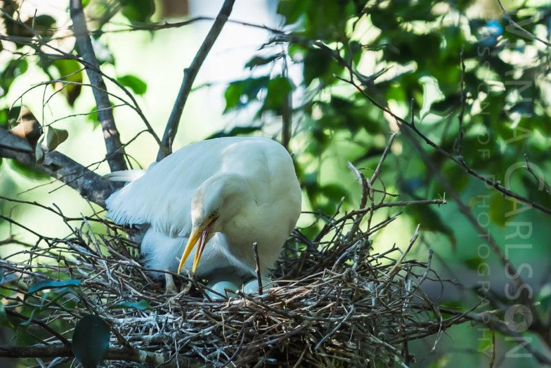 Kuhreiher (Egret - Bubulcus Ibis) beim Brüten ©Manja Carlsson