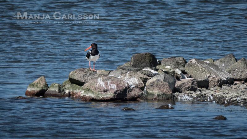 Austernfischer im Rantum Becken auf Sylt
