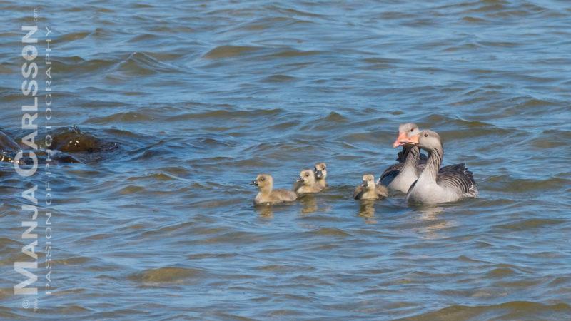 Ringelgansfamilie im Rantum Becken