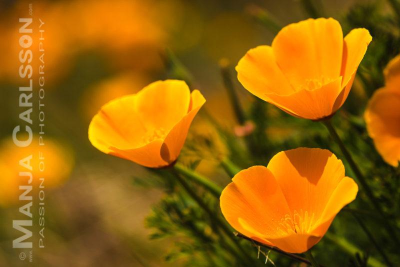 kalifornische Mohnblumen - Goldmohn auf Teneriffa