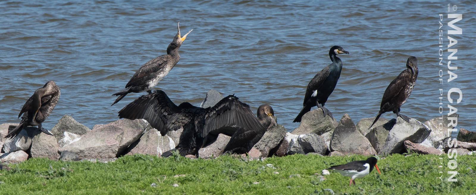 Kormorane an Land mit Austernfischer
