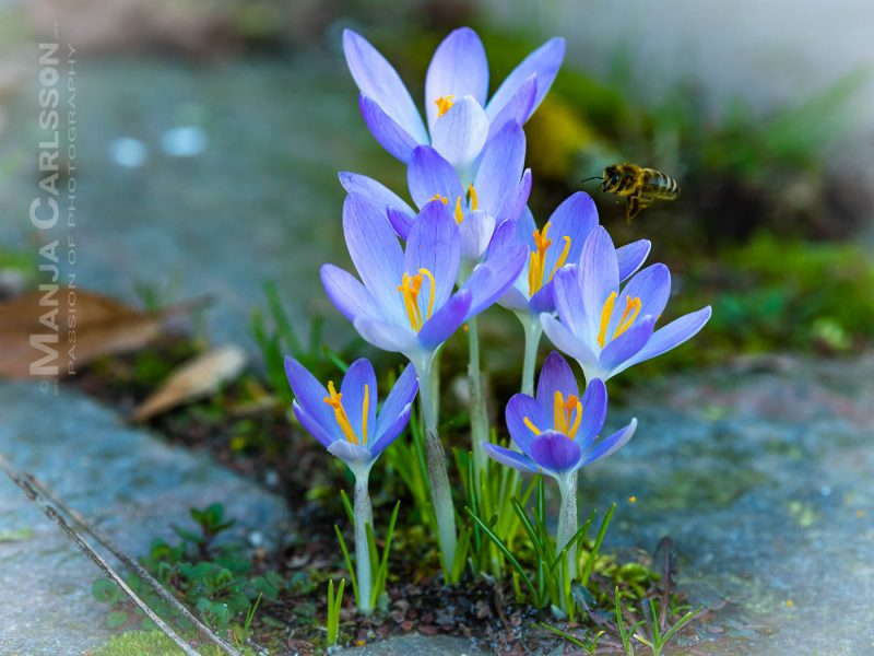 Krokusse zwischen Pflastersteinen mit anfliegender Biene