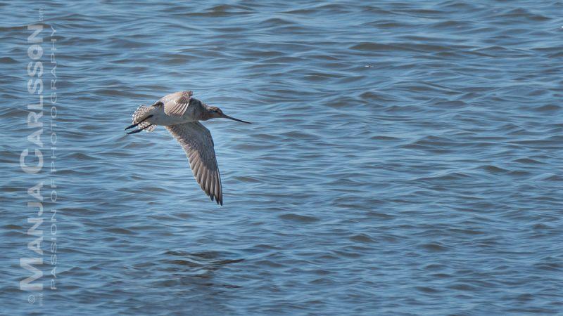 Schnepfenvogel im Flug recht dicht über der Wasseroberfläche macht gerade den Flügelschlag nach unten