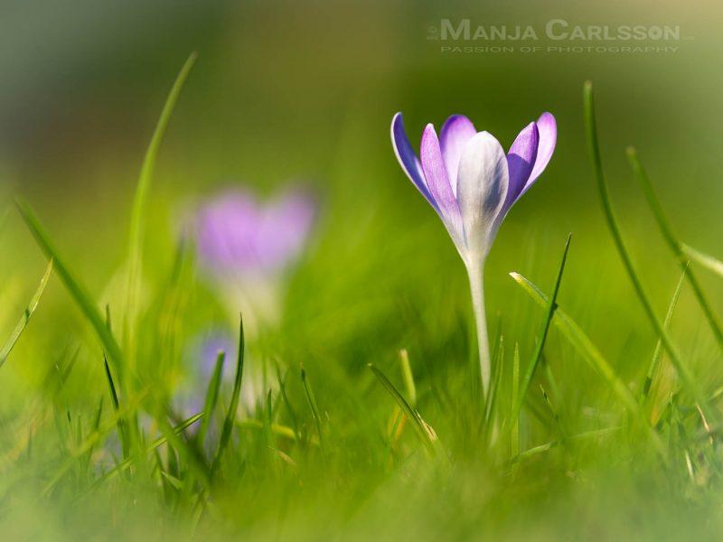 lila Krokuss - erster Frühlingsgruss