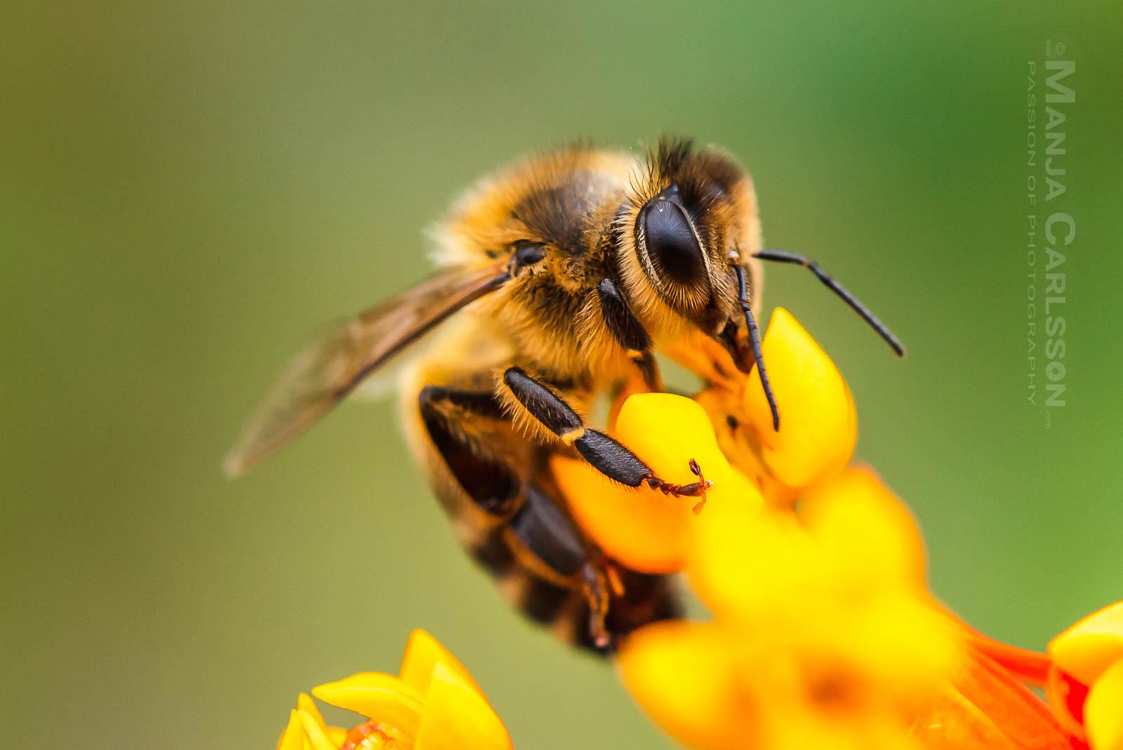 Biene auf Asclepiadoideae Blüte (Seidenpflanzengewächs)