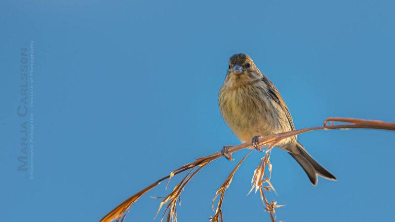 Kanarienvogel im Sonnenuntergangslicht